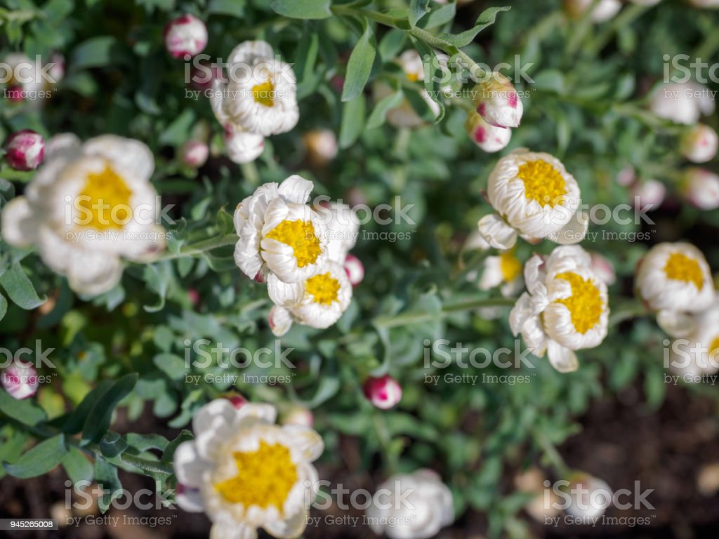 Tiny White And Yellow Flowers With Blur Background Stock Photo