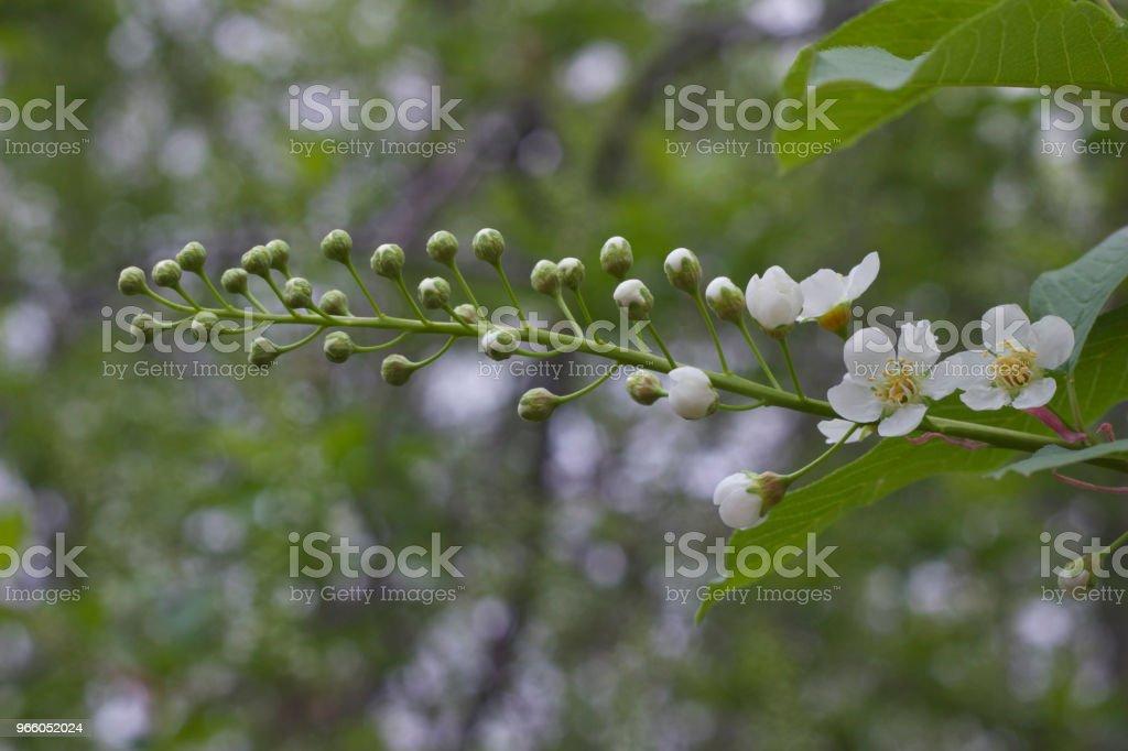 Små vita knoppar och blommor nya framväxande på grenen av en Canada Red Cherry Tree - Royaltyfri April Bildbanksbilder
