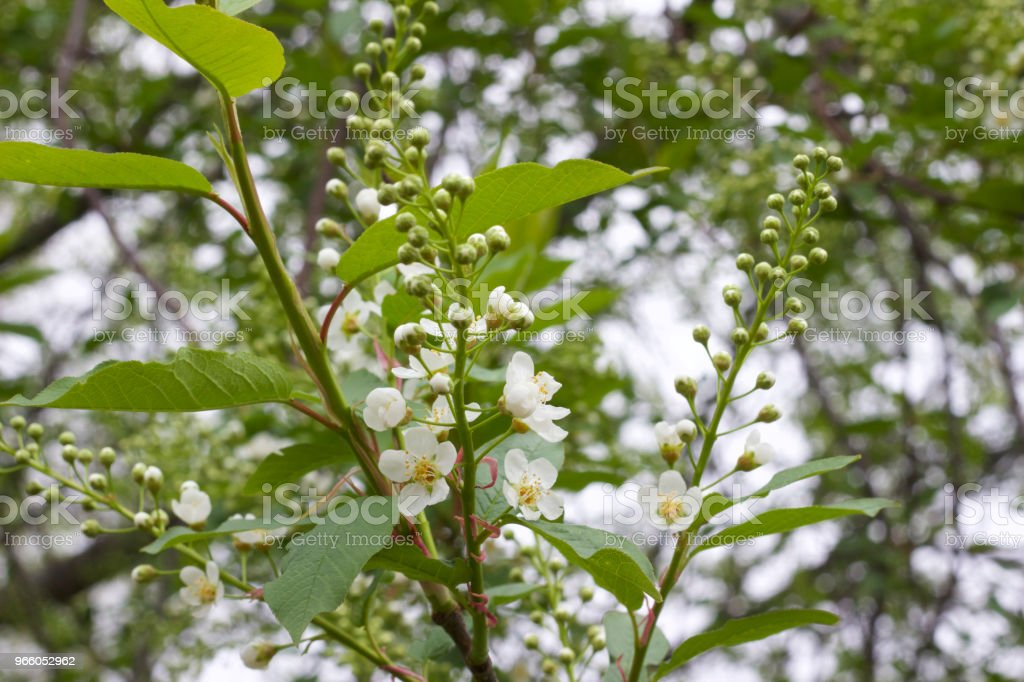 Tiny white buds and flowers newly emerging on the branch of a Canada Red Cherry Tree - Royalty-free April Stock Photo