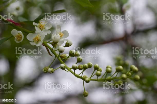 Små Vita Knoppar Och Blommor Nya Framväxande På Grenen Av En Canada Red Cherry Tree-foton och fler bilder på April