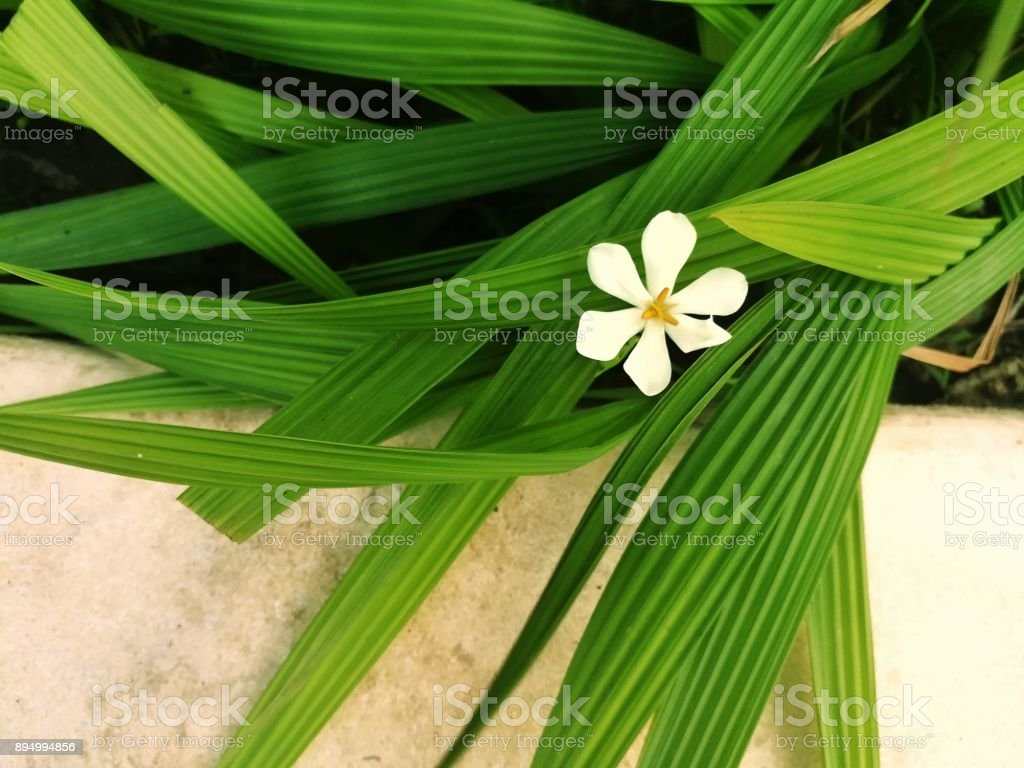 A tiny white flower with its leaves. Picture with copy space. stock photo