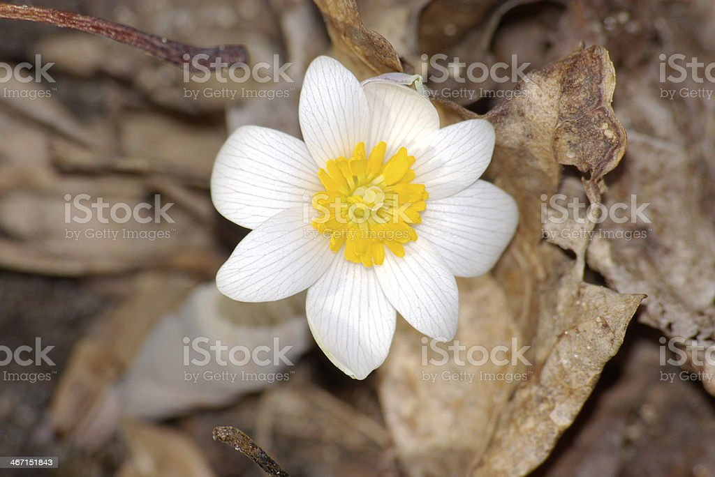 Tiny Wild Flower royalty-free stock photo