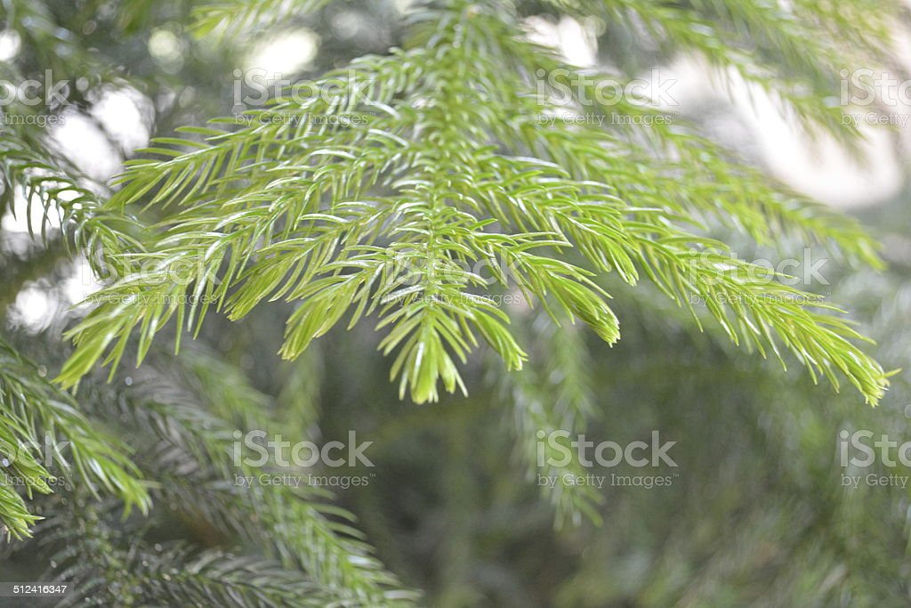 Tip of a branch on a Norfolk Island Pine Tree stock photo