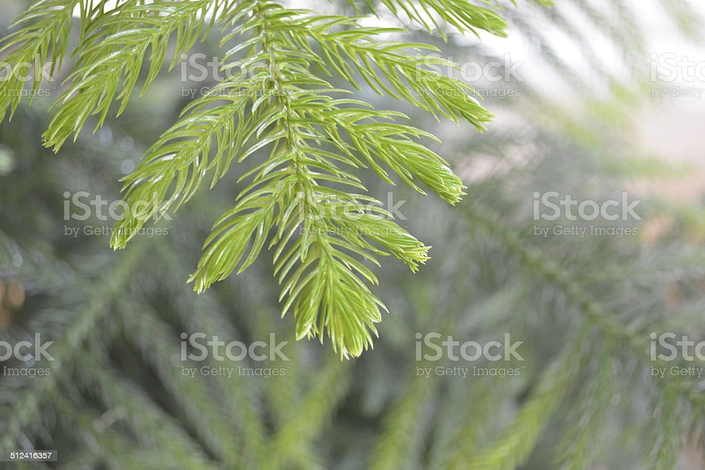 Tip of a new branch on a Norfolk Island Pine stock photo