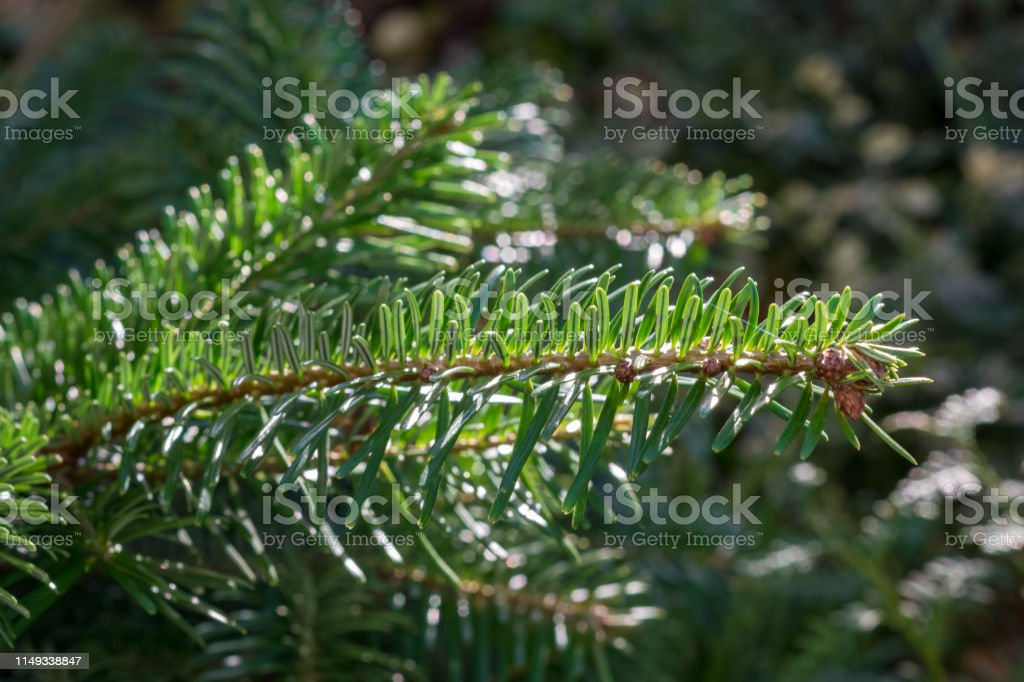 Beautiful details of a twig with needles of the Nordmann fir Abies...