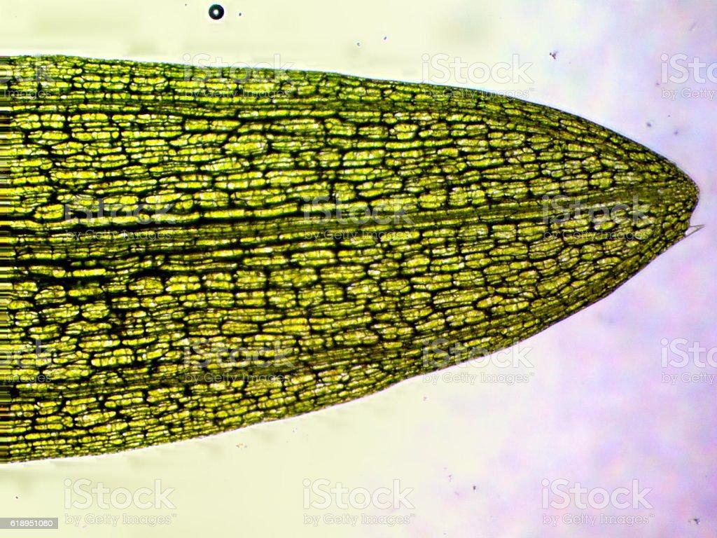Tip of Eelgrass Leaf stock photo