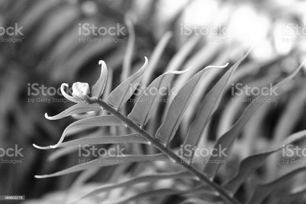 Tip of fern leaf in black and white stock photo