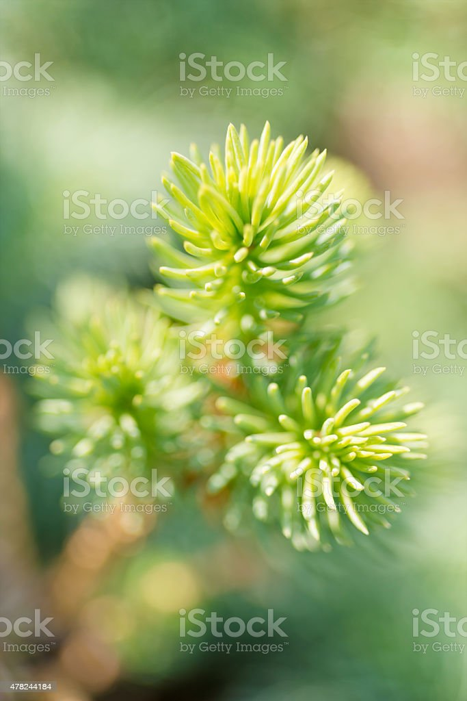 Tip of the fir tree branch royalty-free stock photo