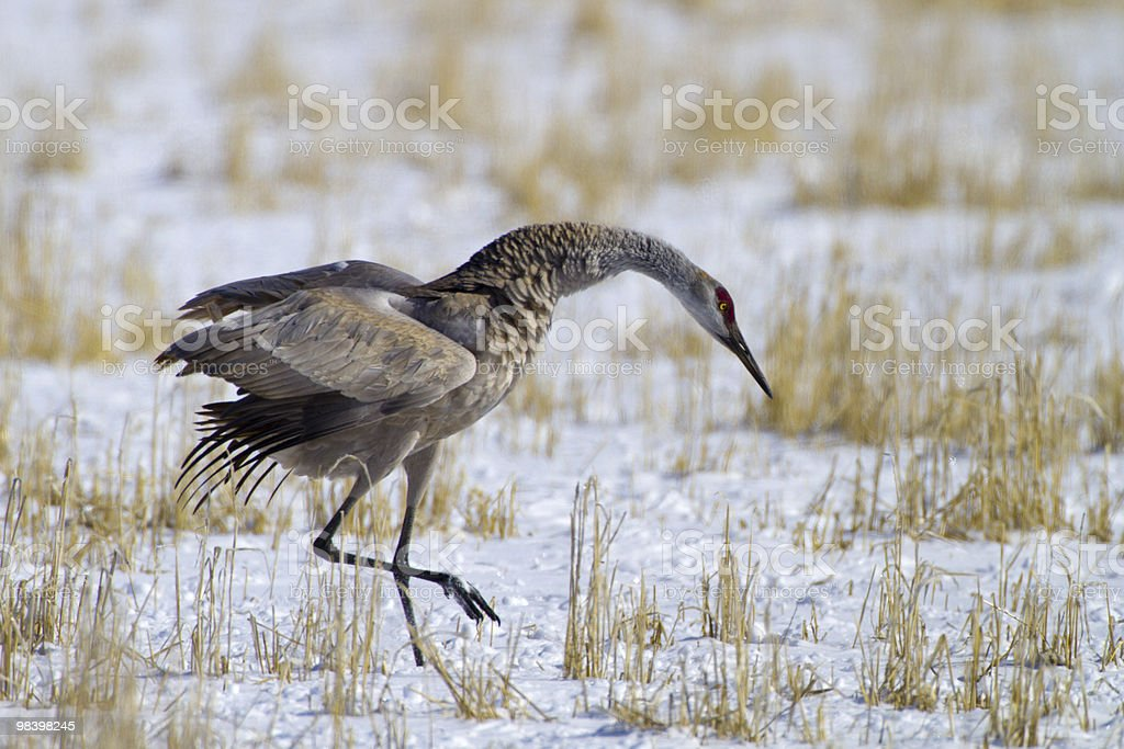 Tip Toe in the Snow royalty-free stock photo