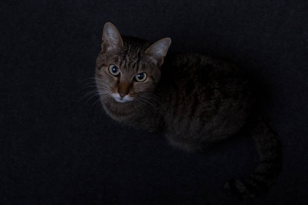 tipped cat stands on grey carpet - low contrast stock pictures, royalty-free photos & images