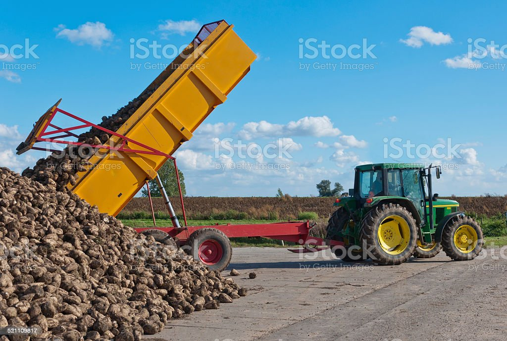 Tipper dumps a load of harvested sugar beets stock photo