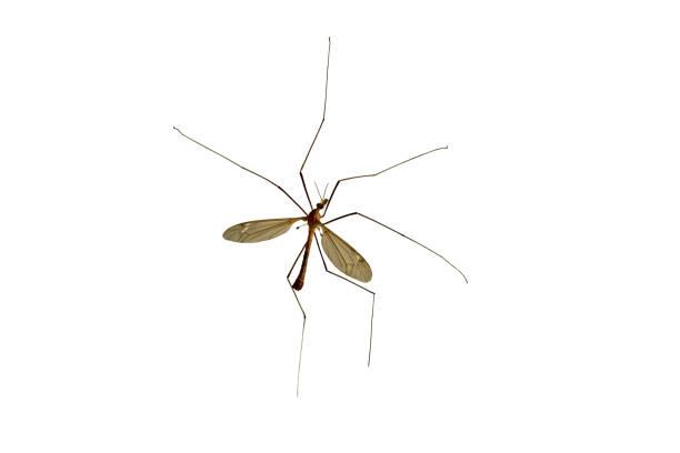 tipulidae. große moskito. - blähbauch medikamente stock-fotos und bilder