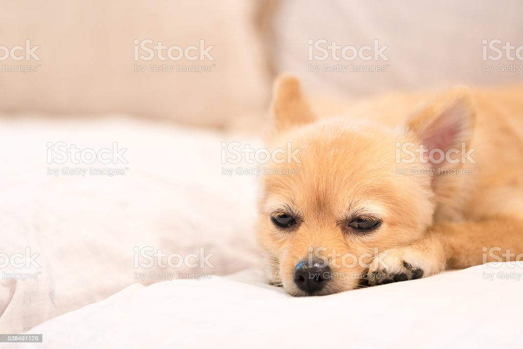 Tired and sleepy pomeranian dog, concept of Monday work stock photo