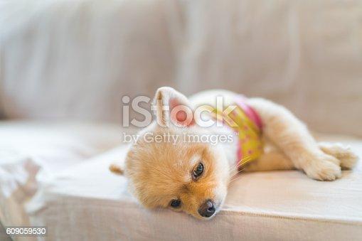 istock Tired and sleepy pomeranian dog sleeping on sofa 609059530