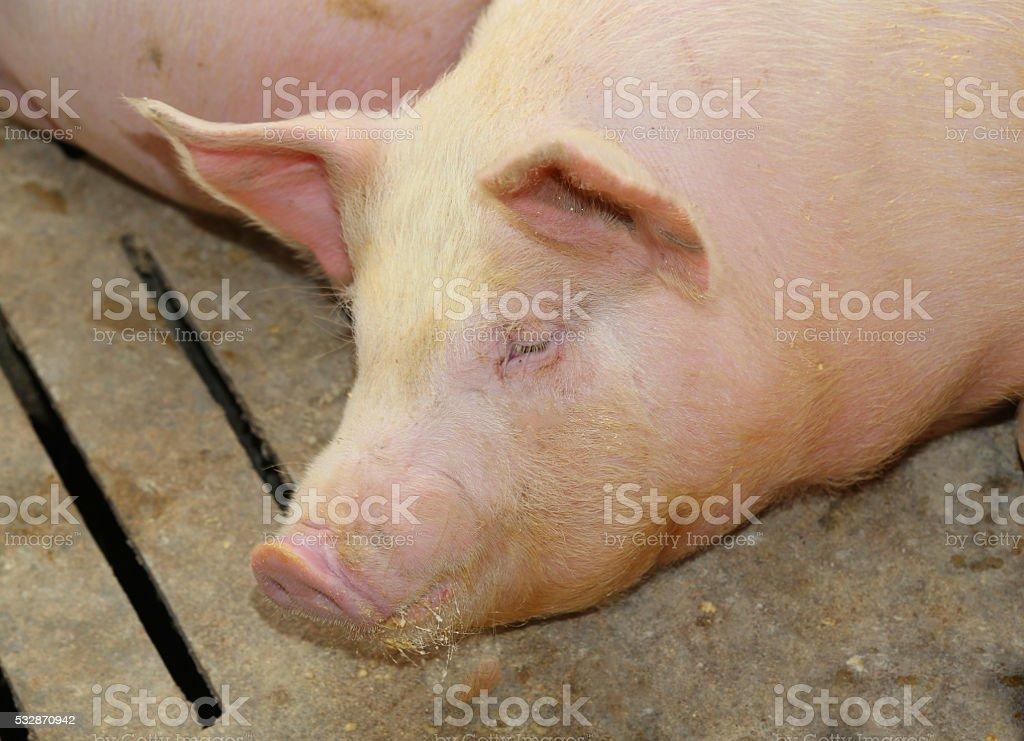 tired asleep pig in pig-breeding farm stock photo