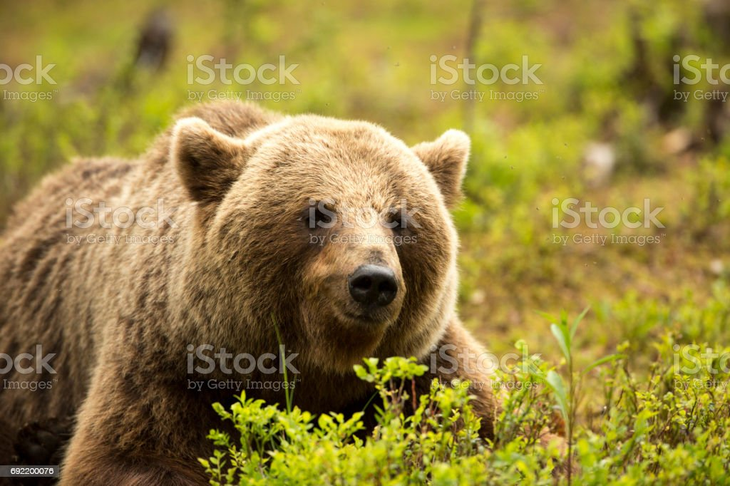 'Tired Bear' stock photo