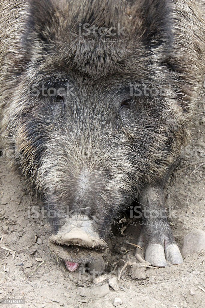 Tired boar stock photo