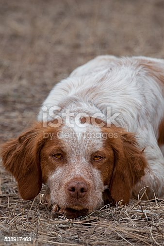 A Brittany Spaniel takes a rest after a hard morning's hunt in Arizona.