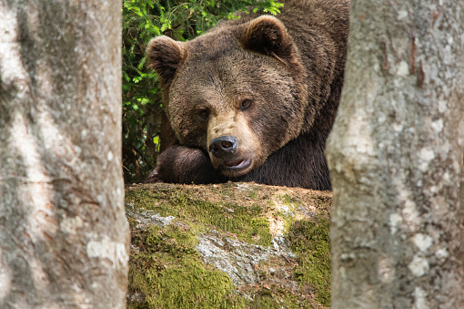 tired but observant brown bear lying in the forest between trees
