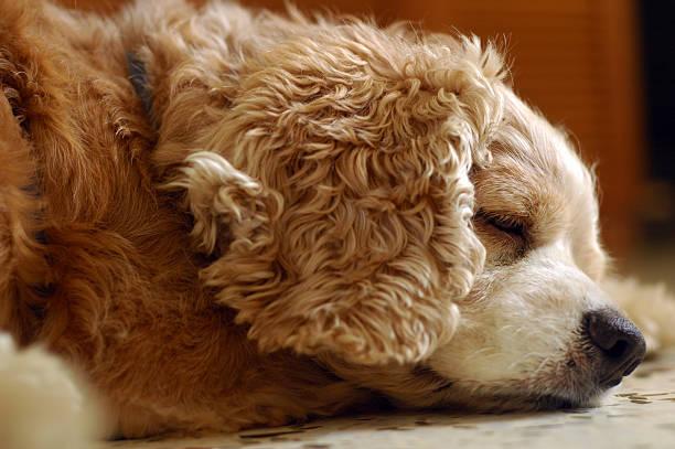 Tired Cocker Spaniel stock photo