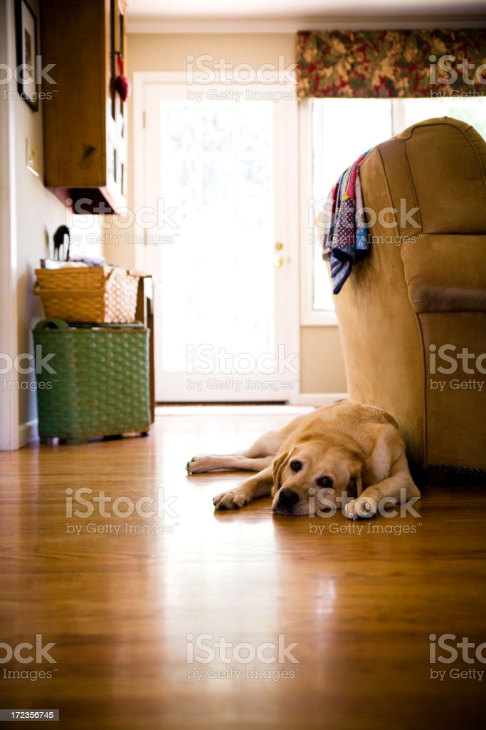 tired dog in house royalty-free stock photo