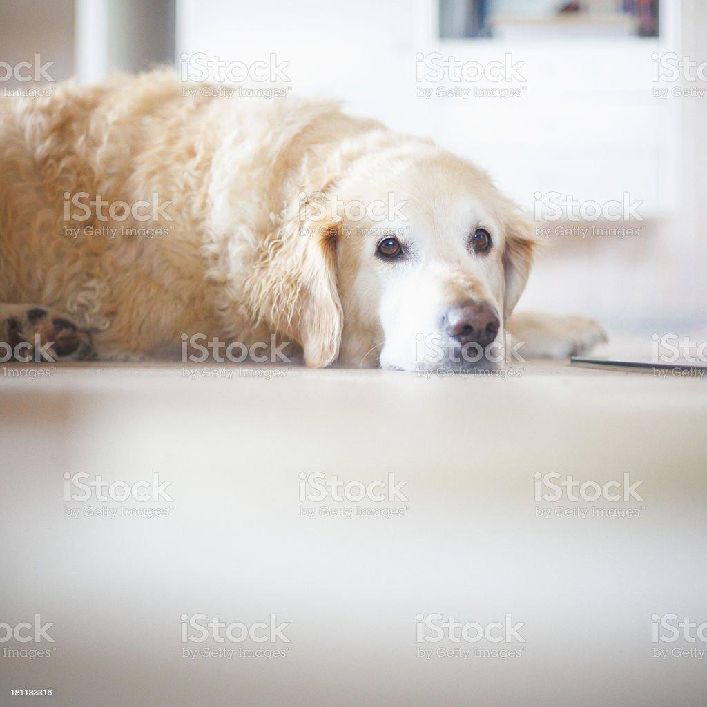 Tired dog royalty-free stock photo