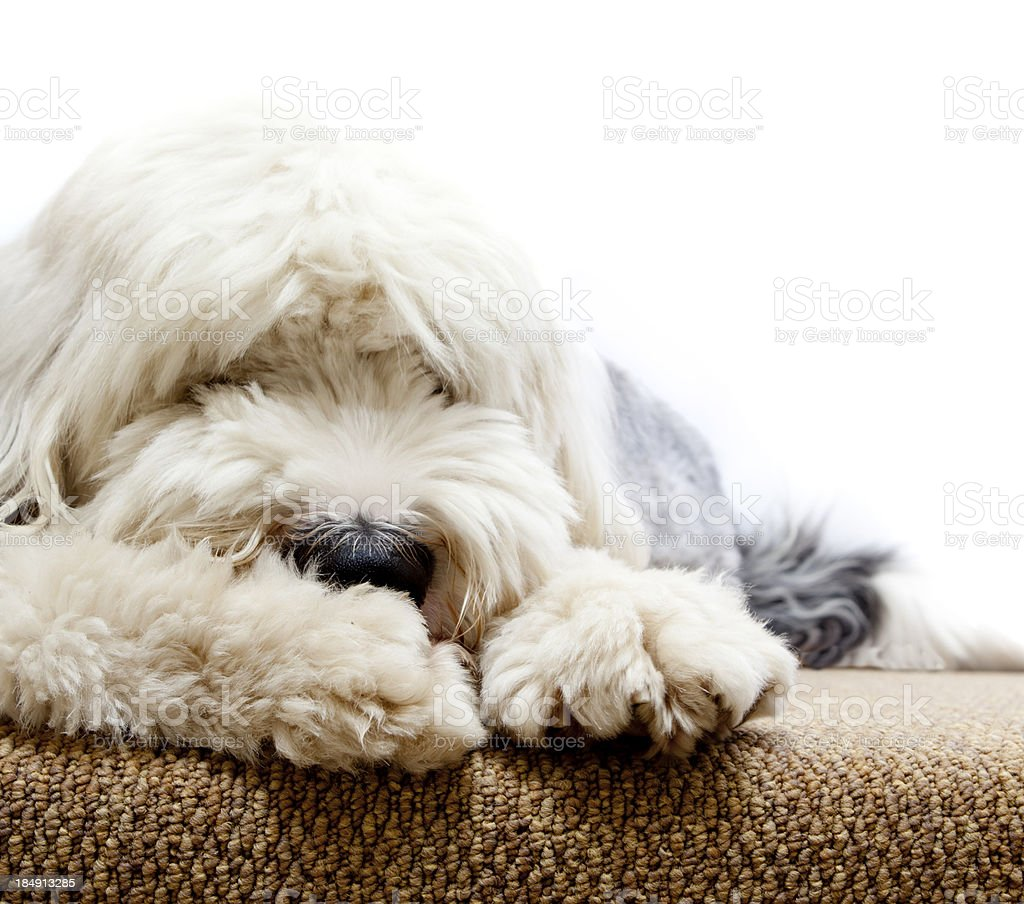 tired dog royalty-free stock photo