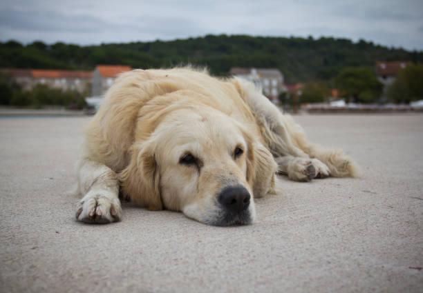 müde hund - cro maske stock-fotos und bilder