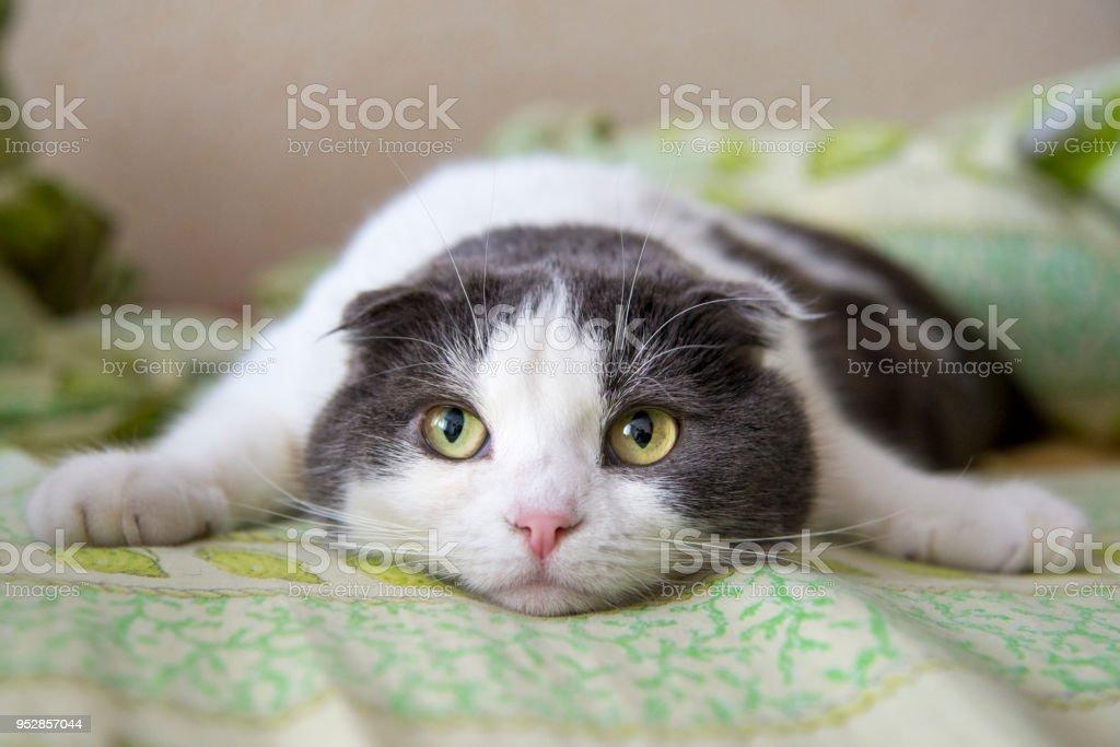 eine m de lustige katze liegt auf dem bauch auf dem bett stock fotografie und mehr bilder von. Black Bedroom Furniture Sets. Home Design Ideas