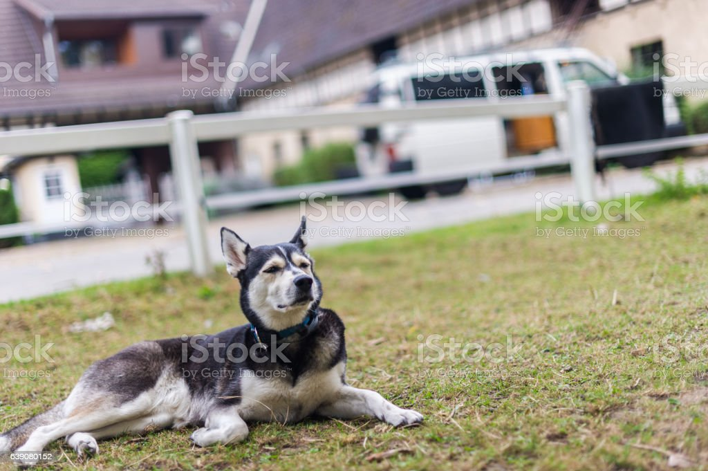 Müder Husky stock photo