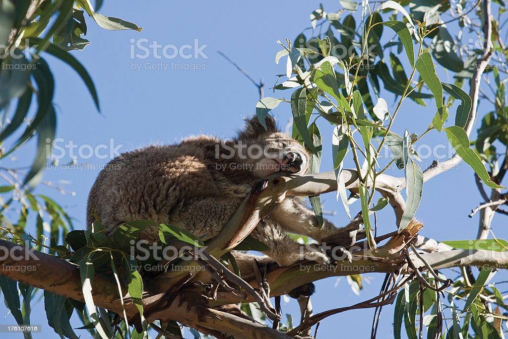 Tired Koala royalty-free stock photo