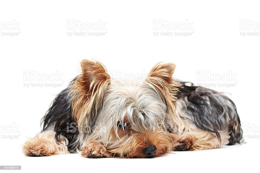 Tired Little Dog royalty-free stock photo