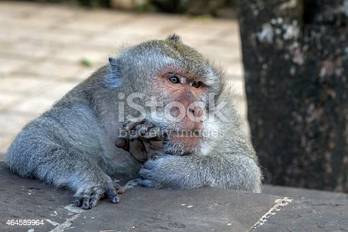 tired old male monkey