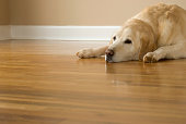 Shown here is a very happy yet very sleepy 12-year-old Yellow Labrador Retriever laying on a hardwood floor with his ears down.     This friendly old dog weighs in at 100 lbs.  Model release on file.See other related images here: