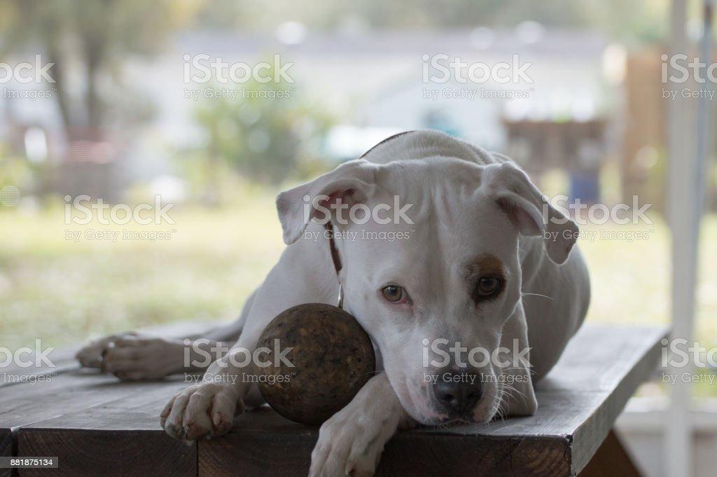 Tired Pitbull stock photo