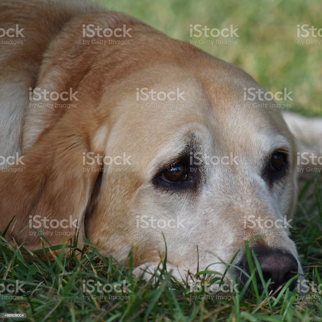 Tired Pooch stock photo
