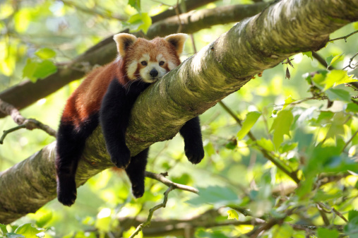 A red panda rests oon a treeThis endangered specie is also known as lesser panda or red cat-bear.