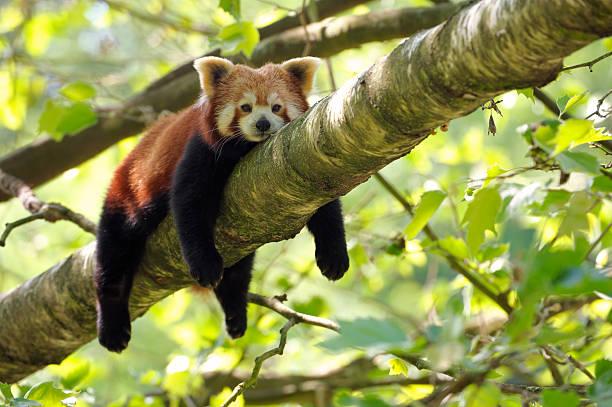 tired red panda stock photo