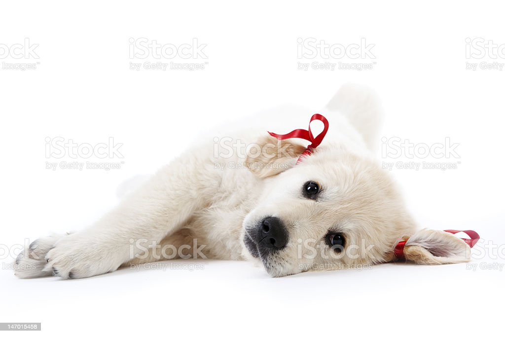 Tired retriever puppy resting with red bows royalty-free stock photo