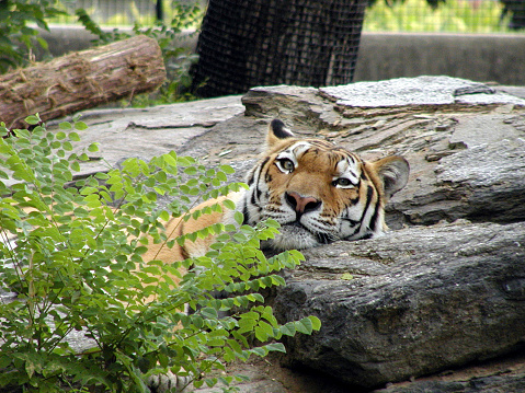 Longleat Bengal Tiger 17 | A very tired Bengal Tiger | Flickr |Bengal Tiger Tired