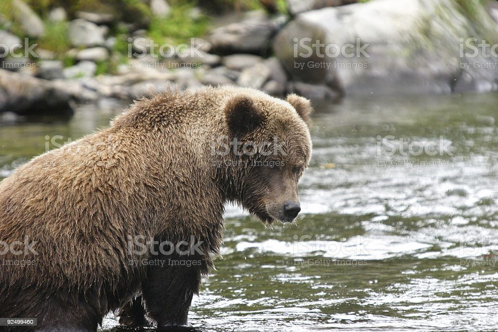 Tired young bear royalty-free stock photo