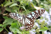 Tirumala limniace or the blue tiger butterfly. India