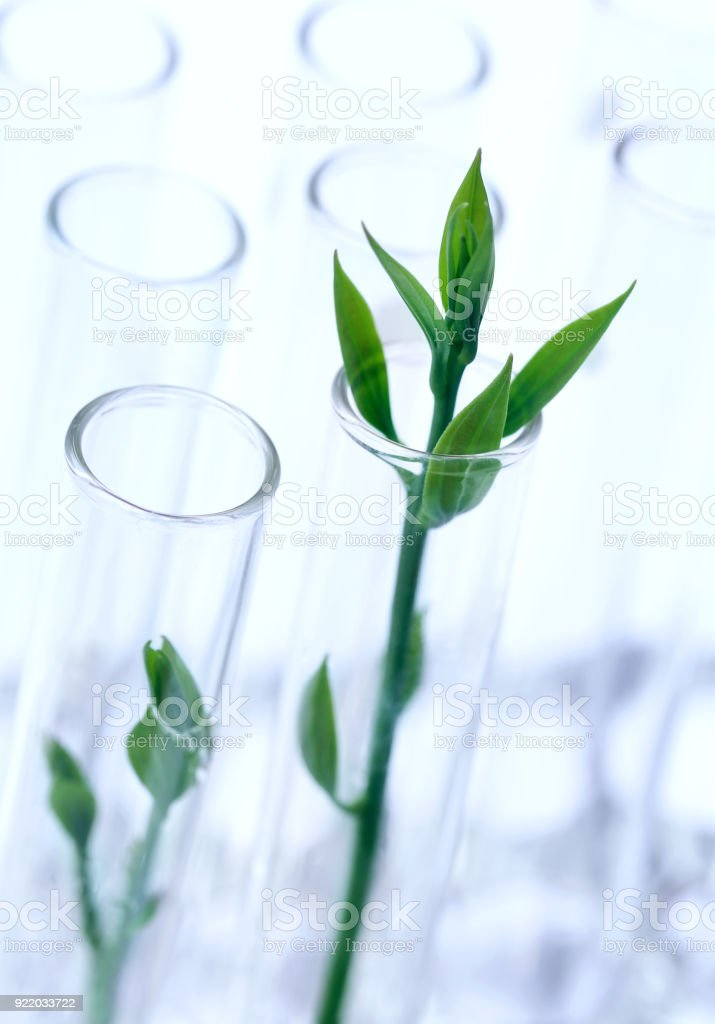 Tissue cultured plant in test tube stock photo