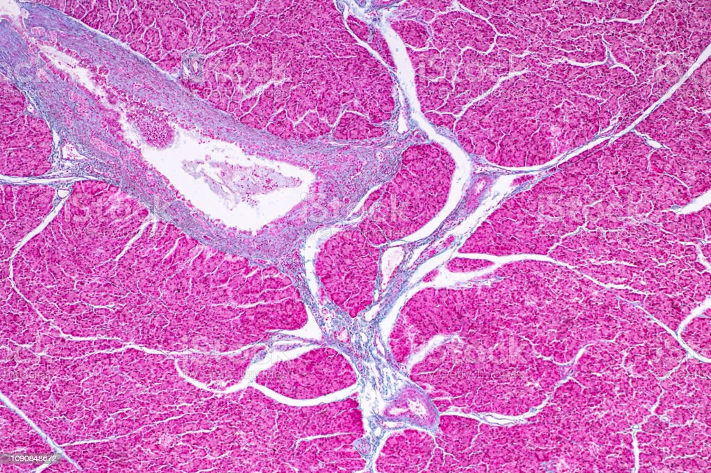 Tissue of pancreas is an organ of the digestive system and endocrine system of in humans, under the microscopic for education in laboratory. stock photo
