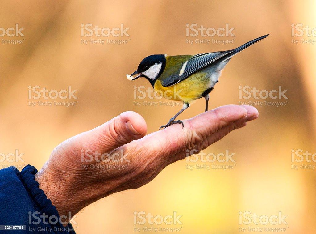 Tit feeding from hand stock photo