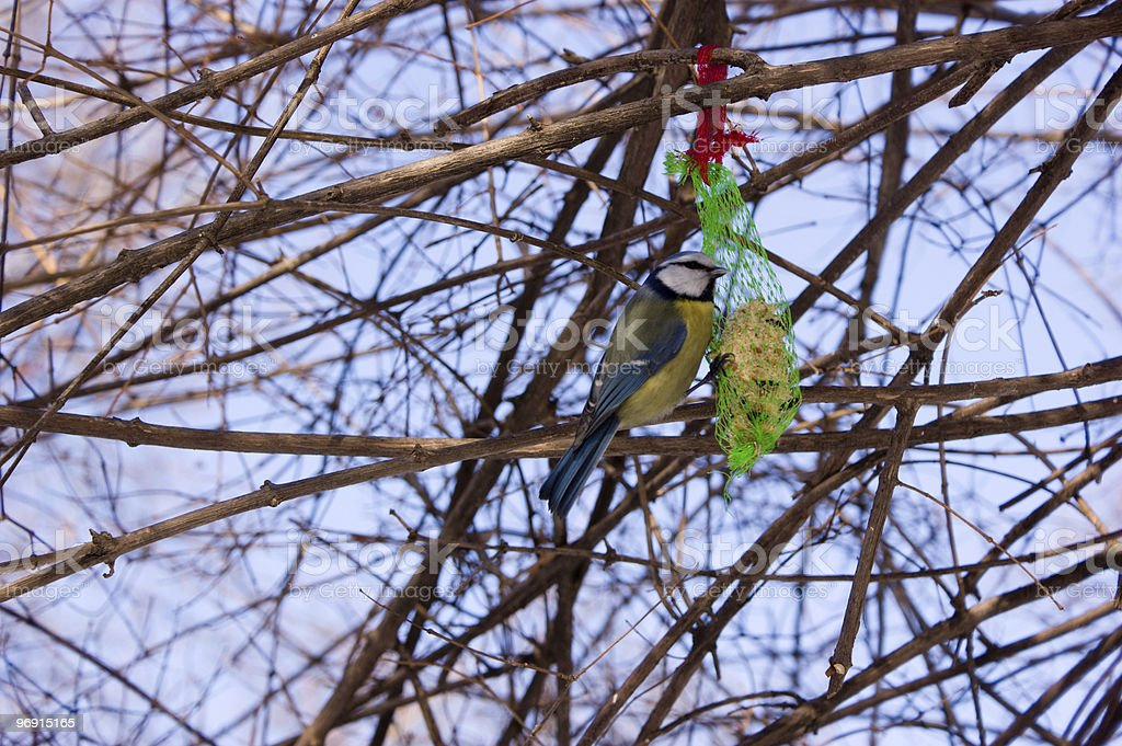 tit in winter royalty-free stock photo