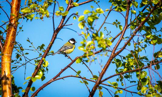 Tit bird stting on a birch branch,