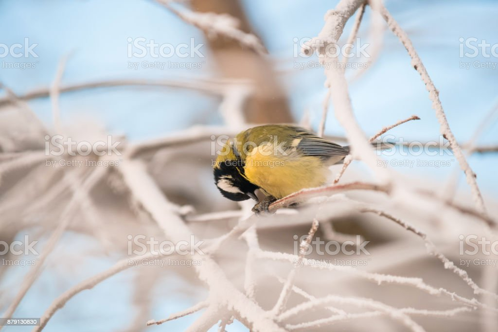 tit sitting on a snowy tree on a frosty morning stock photo