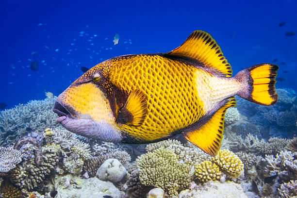 titan triggerfish on coral reef - maldives - one animal stock photos and pictures