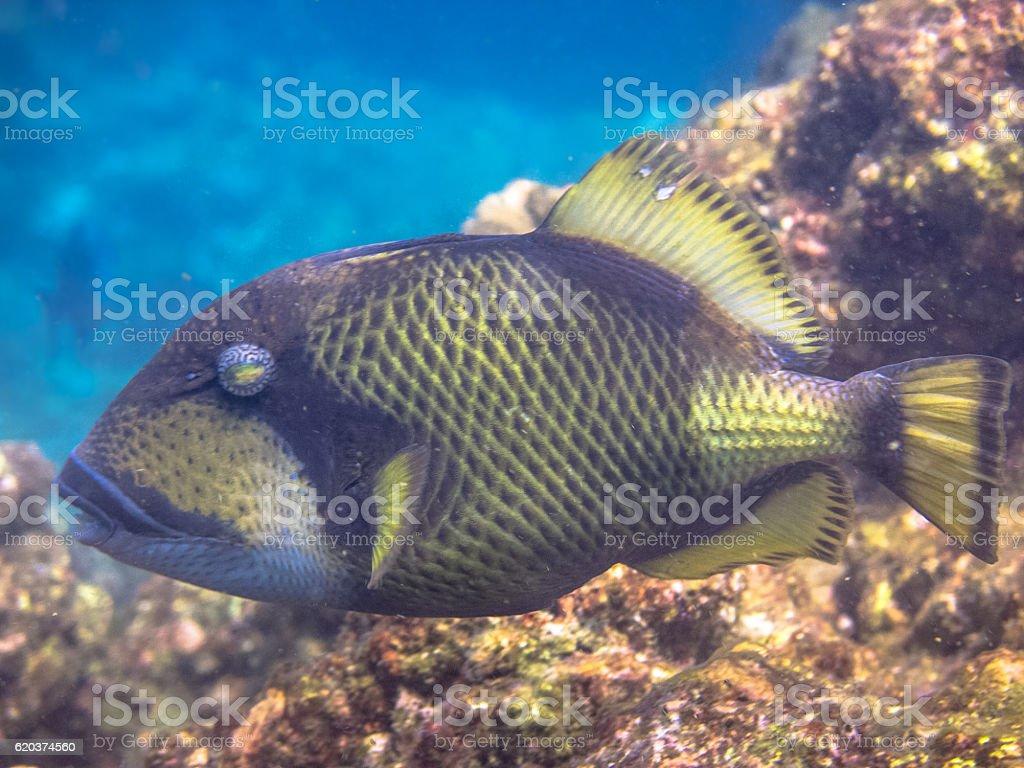 Titan Triggerfish (Balistoides viridescens) Territorial Tropical Reef Fish zbiór zdjęć royalty-free